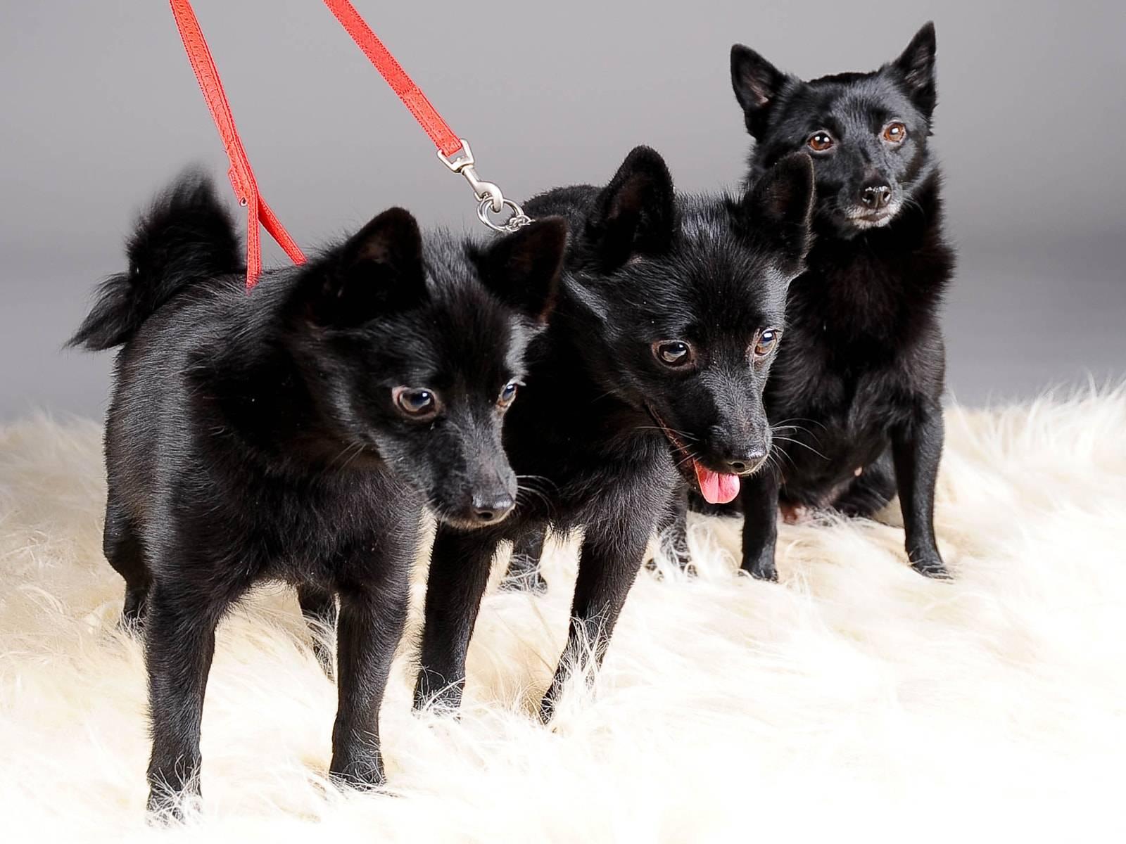 Шипперке (схипперке) — порода собак
