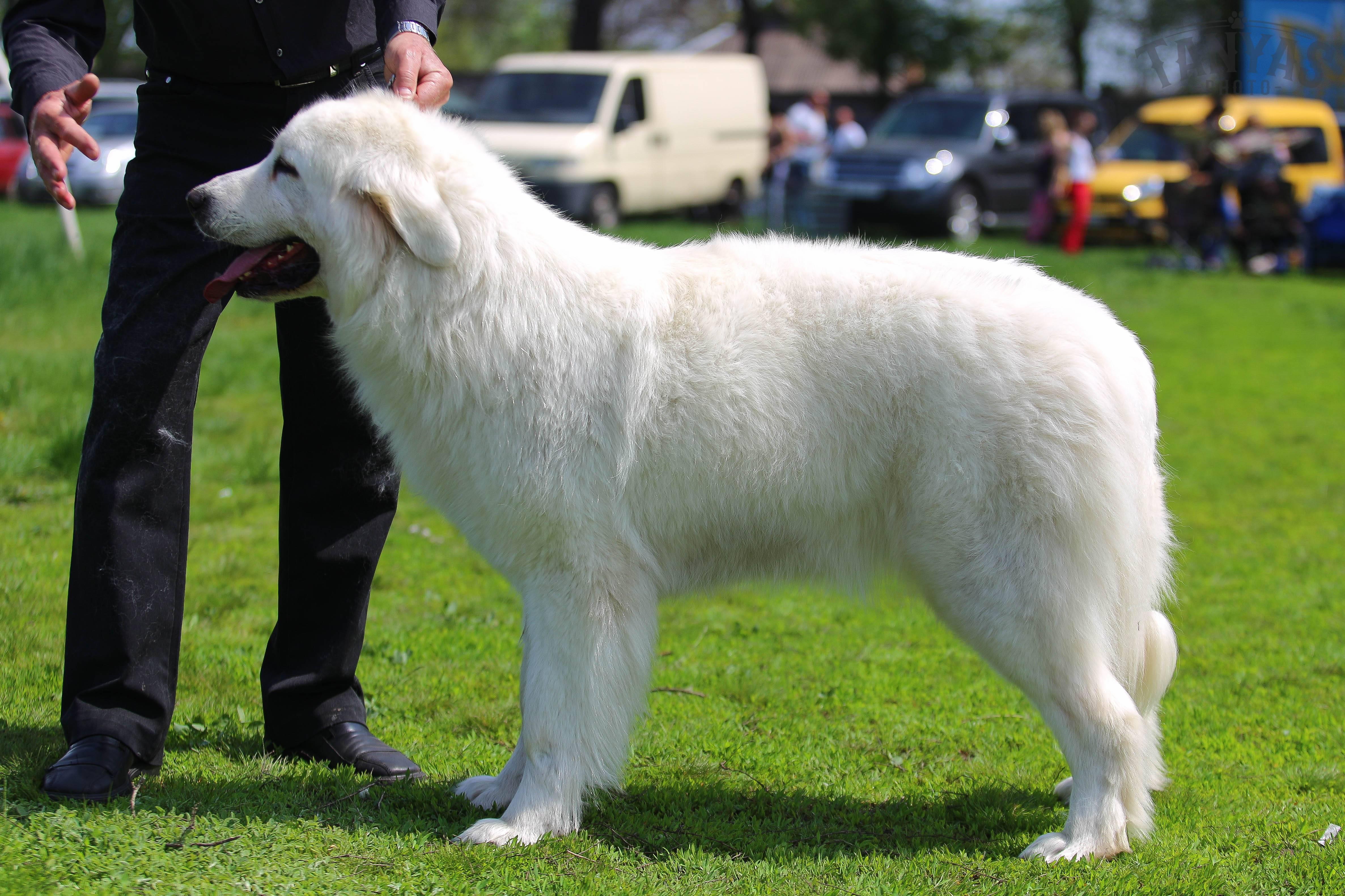 Польская подгалянская, или татранская, овчарка: описание породы собак с фото и особенности содержания