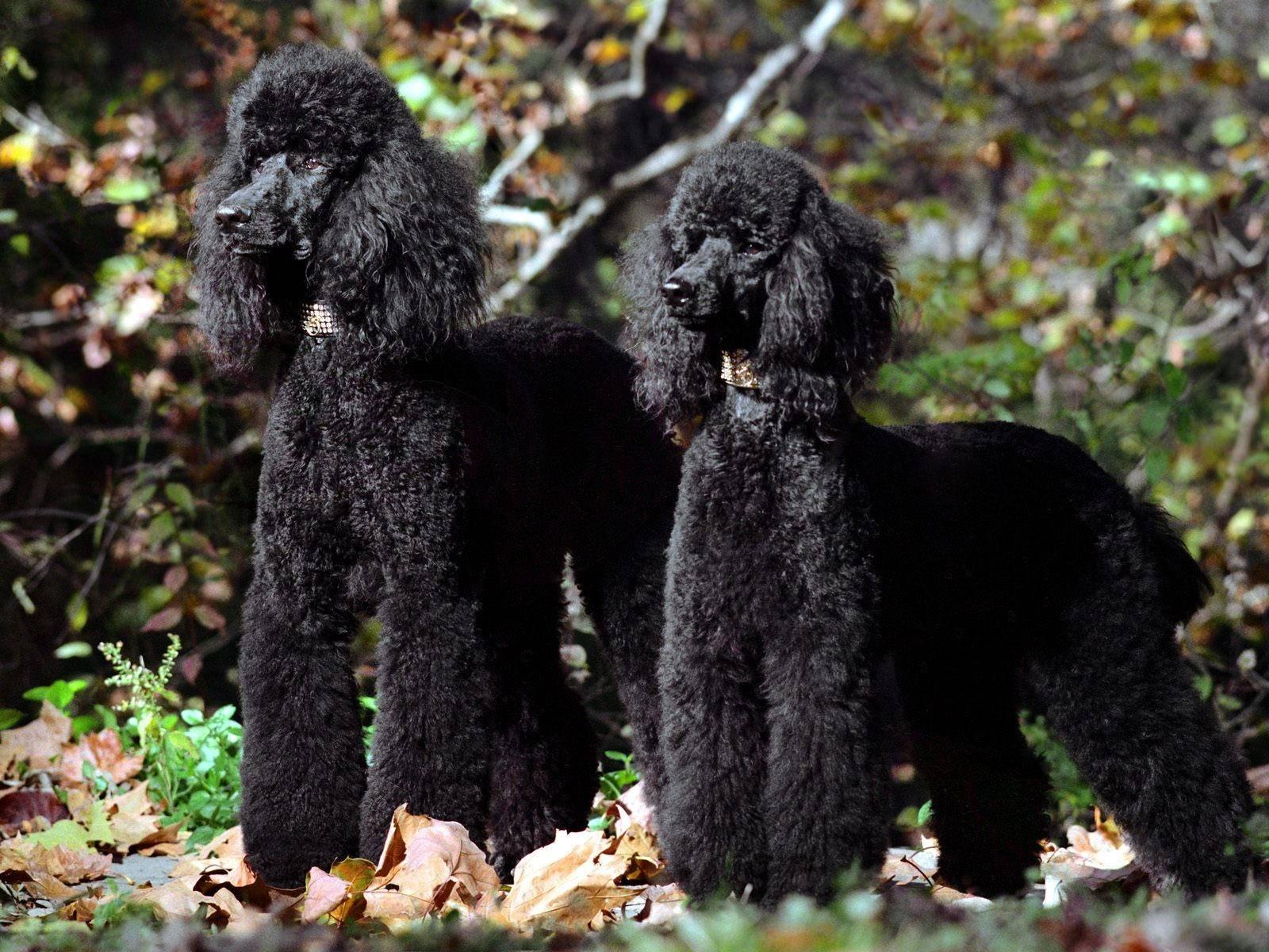 Карликовый пудель (62 фото): плюсы и минусы породы, описание характера мини-пуделей. сколько лет живут миниатюрные собаки? отзывы владельцев