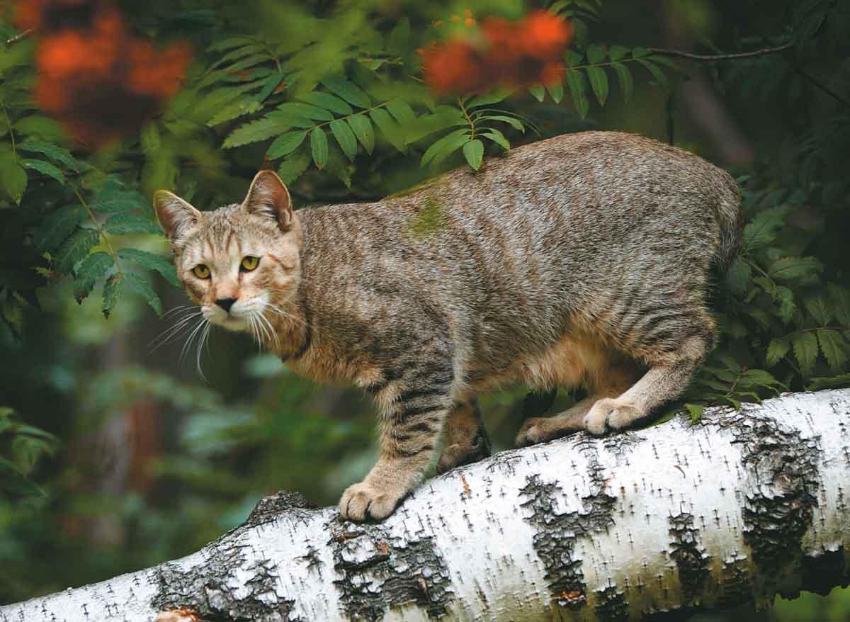 Пиксибоб: 50 фото, описание, окрас, характер, стандарт породы кошек