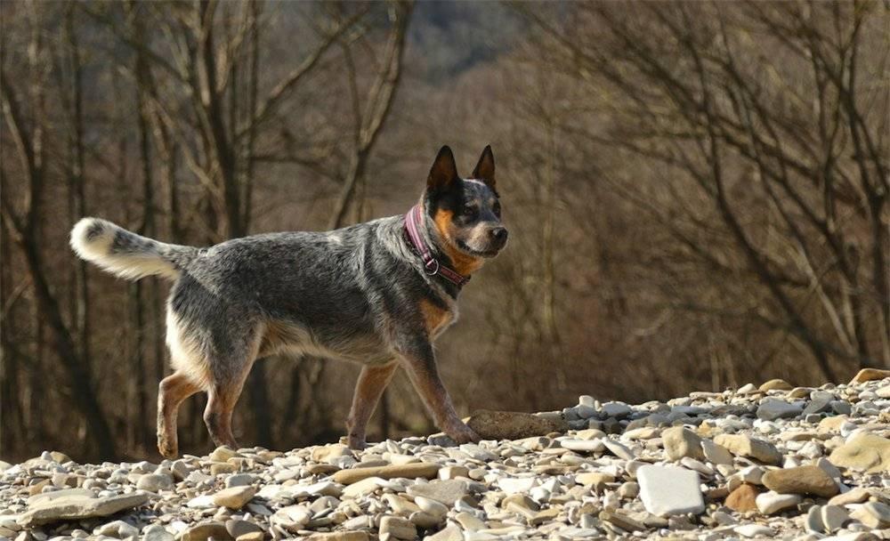 Австралийский хилер(австралийская пастушья собака ( australian cattle dog  ), голубой хилер, австралийский кеттл дог) описание, плюсы и минусы, выбор щенка, питомники.