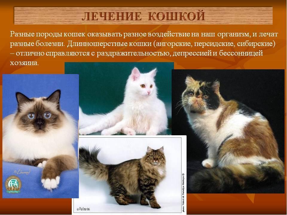 Сибирская кошка — в чем особенность породы?