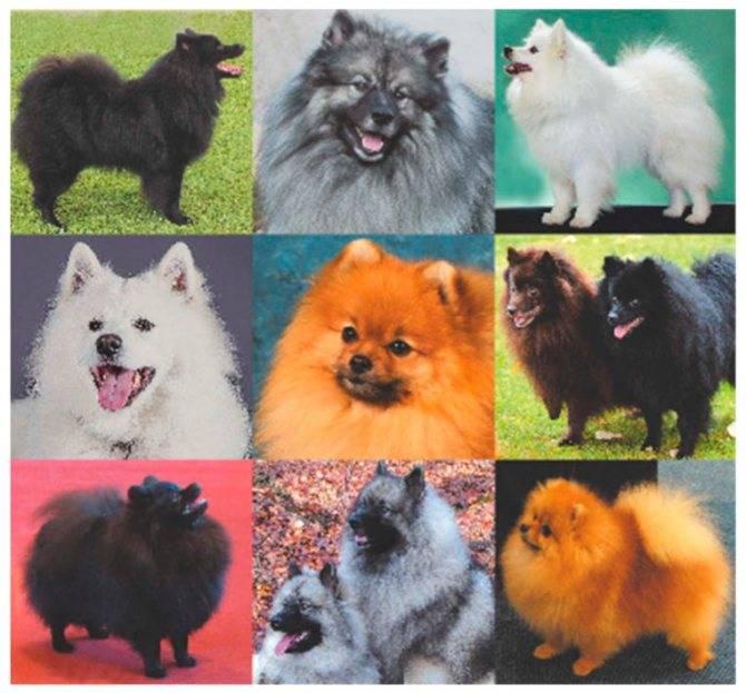 Немецкий и померанский шпиц отличия породы, разница внешнего вида, характера, ухода и воспитания