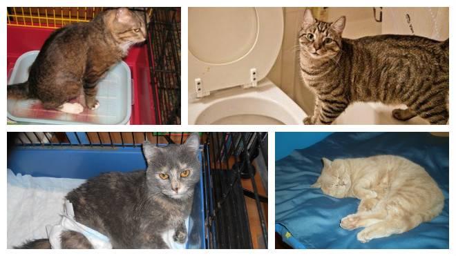 Цистит у кошек:  симптомы и лечение в домашних условиях