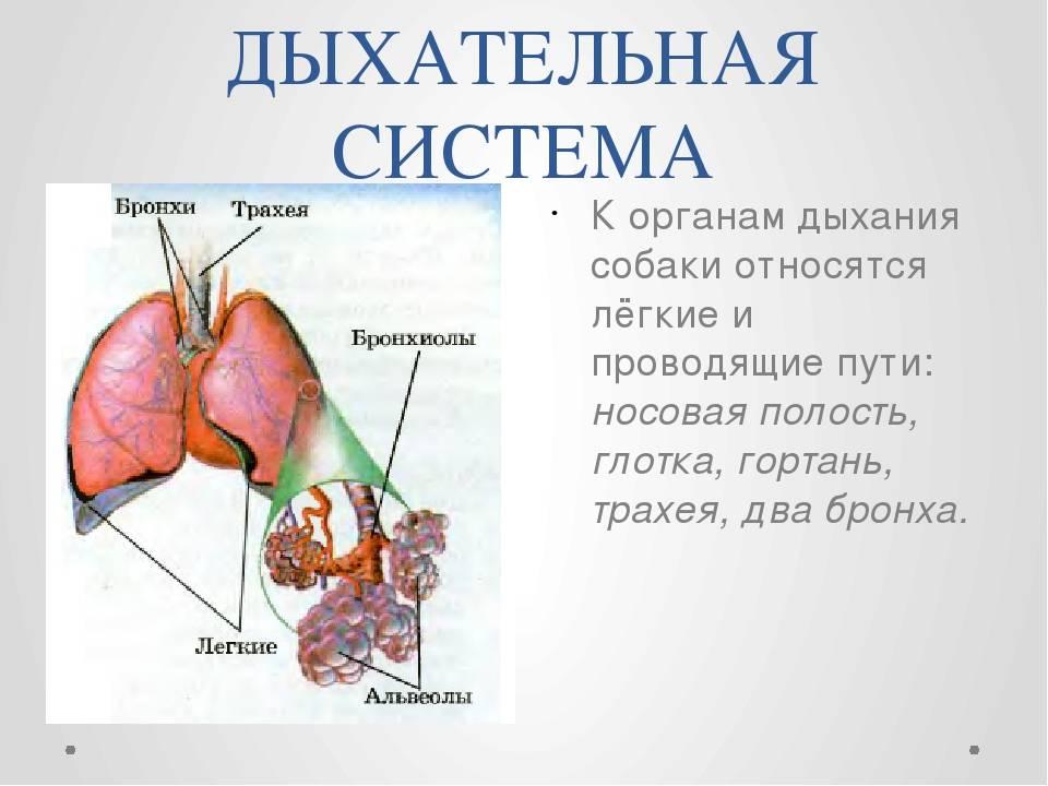 Болезни бронхолёгочной системы кошек (этиология, патогенез, диагностика и лечение)