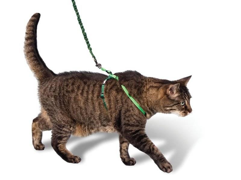 Шлейка и поводок для кошки: зачем они нужны и как их сделать своими руками