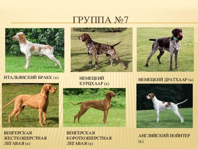 Какие группы делятся собаки по системе fci: как происходит классификация