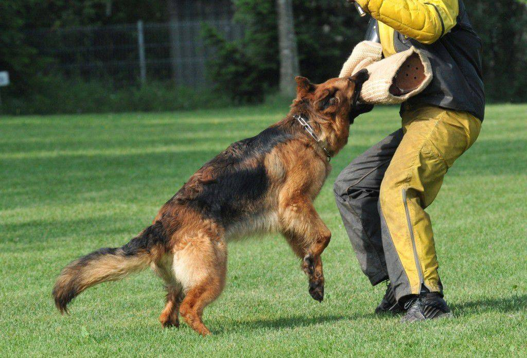 Курс зкс для собак: какие команды включает в себя защитно-караульная служба, отличие от других курсов, программа и экзамен
