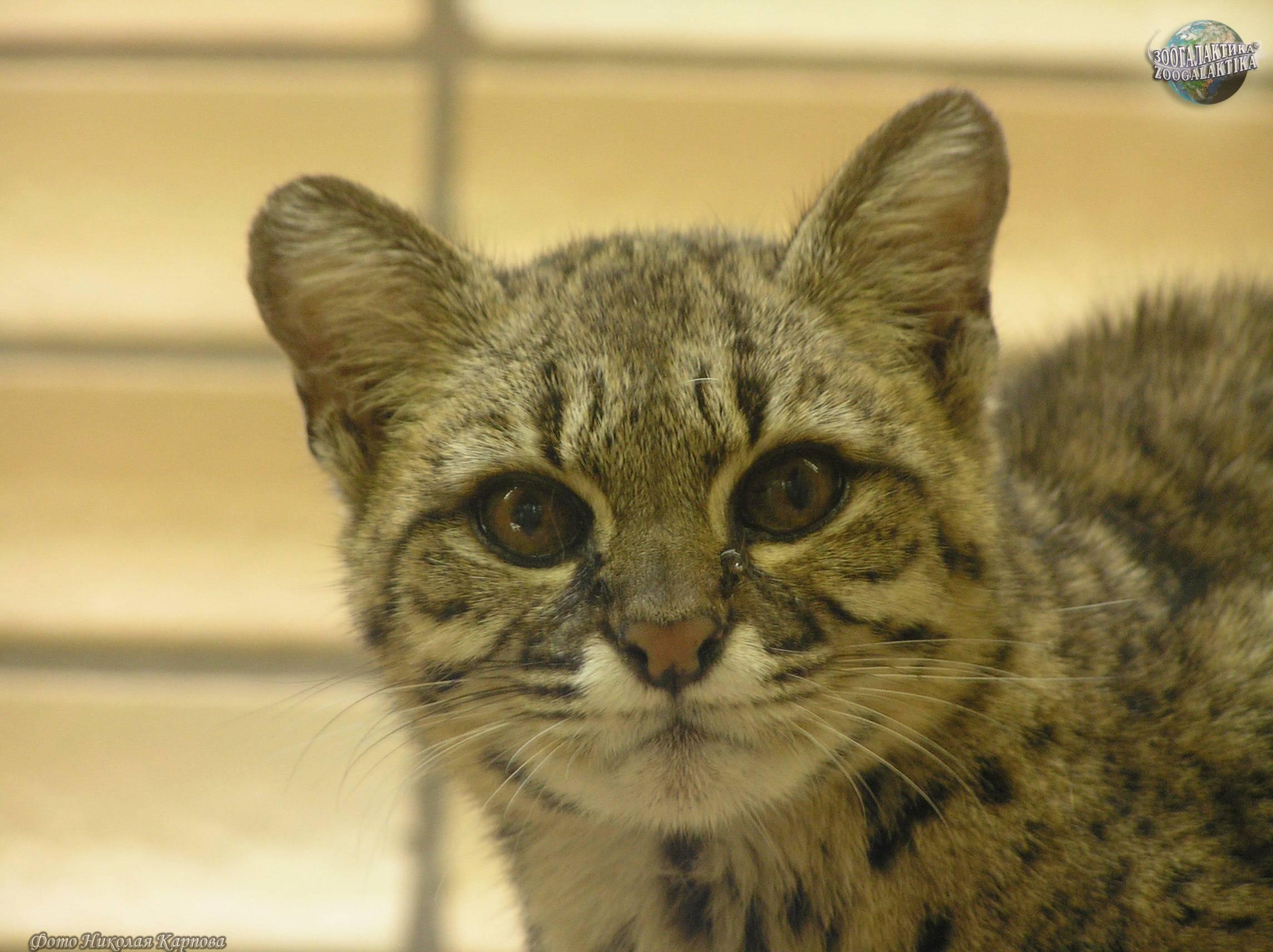 Кошка жоффруа: почти как домашняя - статьи