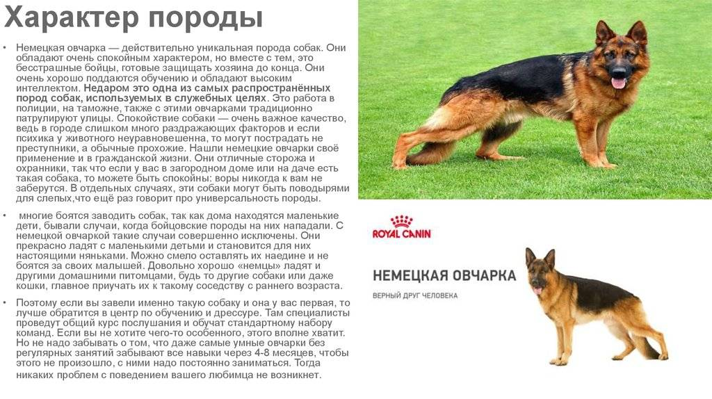 Грюнендаль - все о собаке от а до я. характер, темперамент, дрессировка, питание, фото, видео, цена щенков, отзывы
