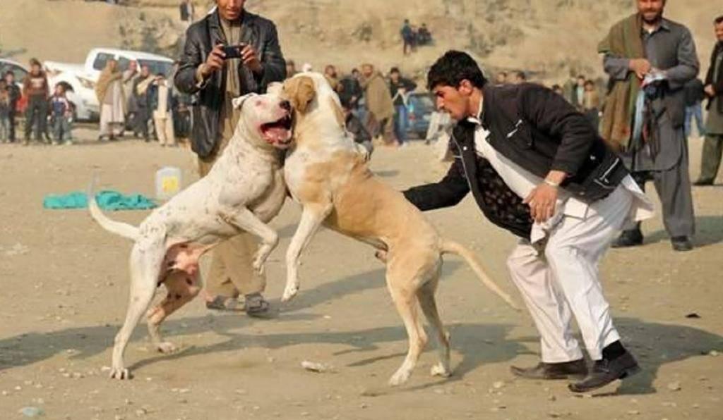Булли кутта или пакистанский мастиф — описание и история породы