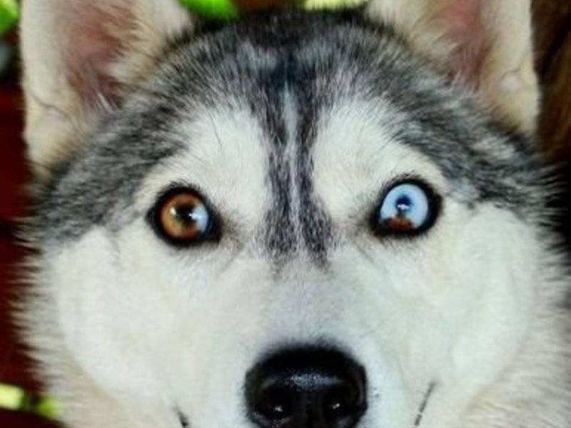 Разновидности окрасов породы хаски: рыжие, белые, черные, пегие и прочие собаки