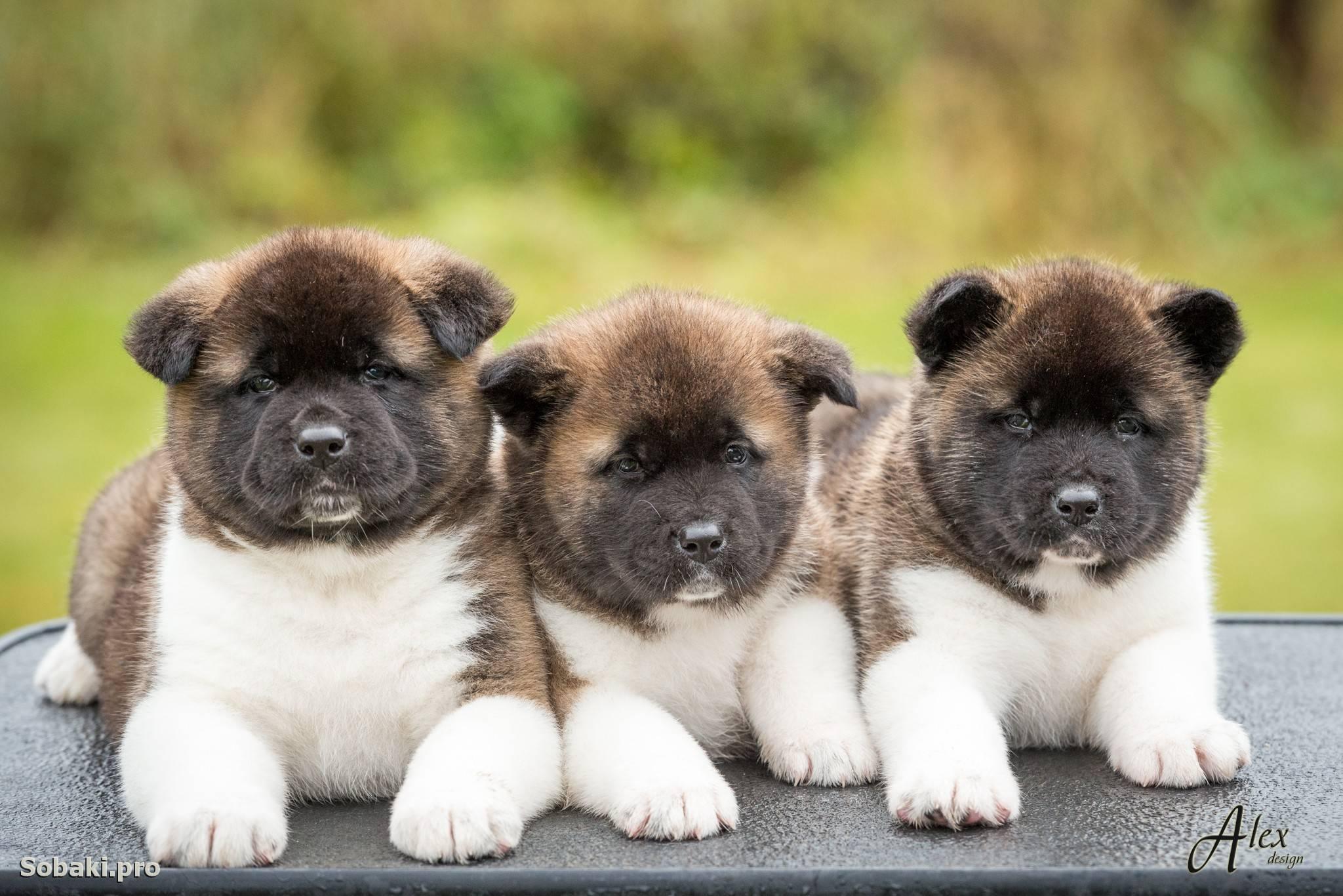 Американская акита — порода, характеристика, цена и разновидности собаки (95 фото и видео)