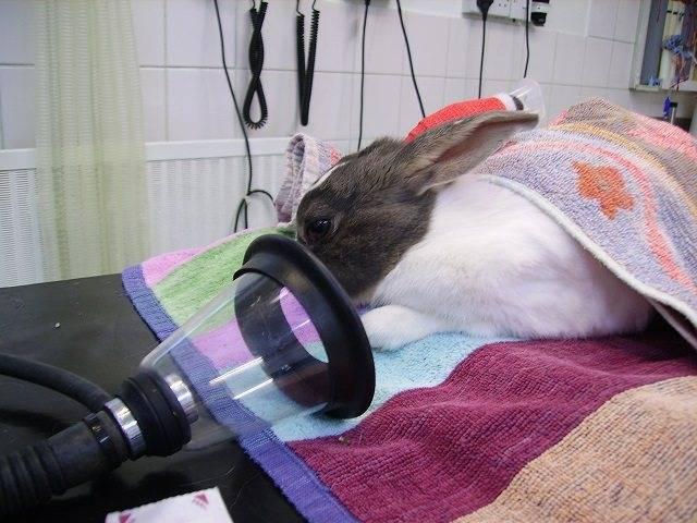 За и против кастрации кроликов, способы и как выполнить своими руками
