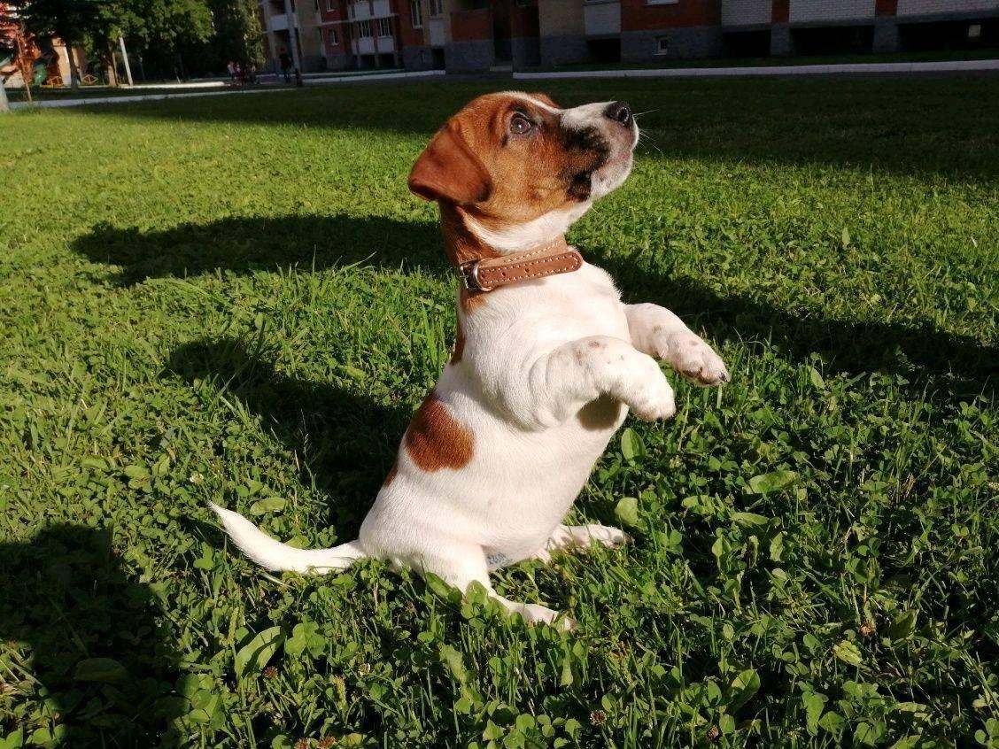 Дрессировка джек-рассел-терьера в домашних условиях: воспитание собаки и как приучить ее к пеленке, а также отучить кусаться