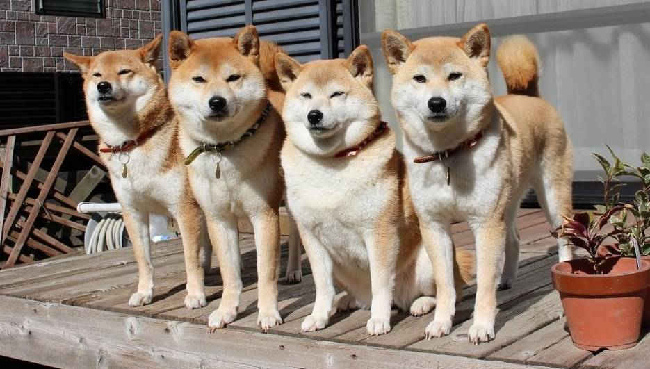 Хоккайдо (порода собак)