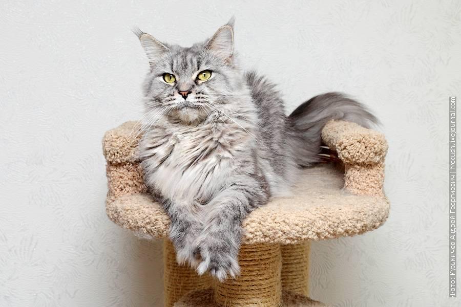 Метис мейн-куна (21 фото): как отличить настоящего мейн-куна от помеси с обычной кошкой? смесь мейн-куна с британцем, сибирским котом или персом