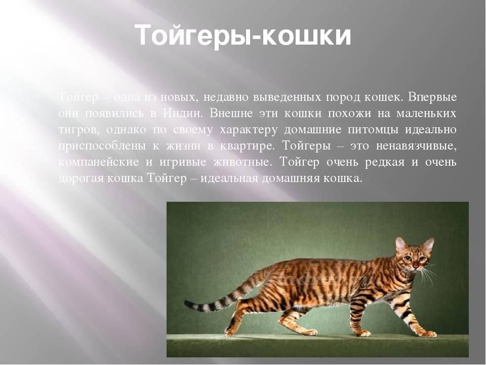 Тойгер кошка: фотография, описание породы, особенности содержания, отзывы владельцев