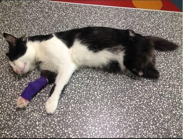 Отказ задних лап у кошки: причины и проявления патологии, первая помощь, методы лечения