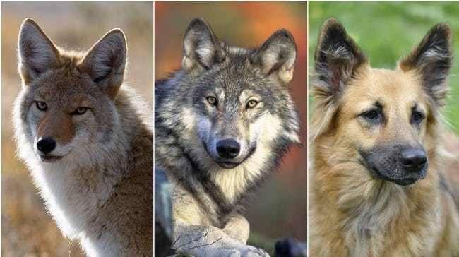 Волкособ – можно ли держать такую собаку дома, особенности характера и дрессировки