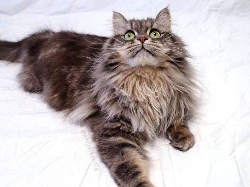 Сибирская кошка — история породы, описание, характер и повадки + 95 фото