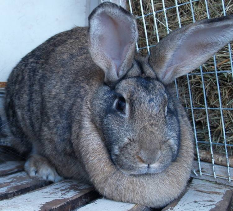 Кролик серый великан — описание породы, характеристика, разведение и содержание.   cельхозпортал