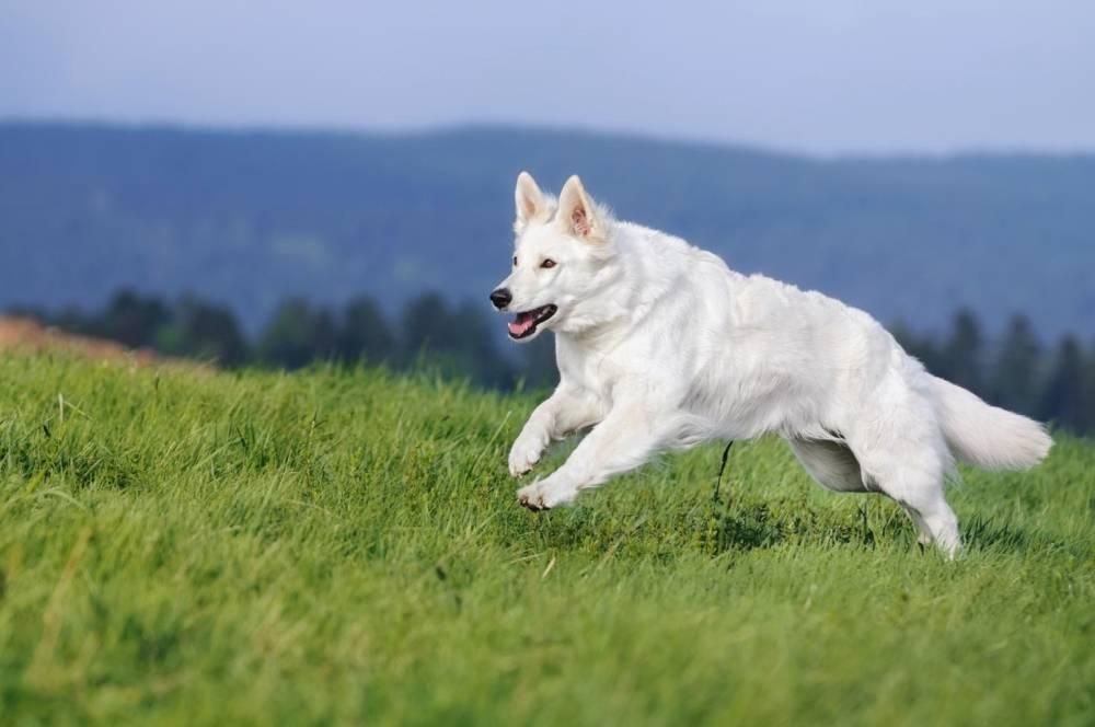 Белая швейцарская овчарка (американо-канадская)
