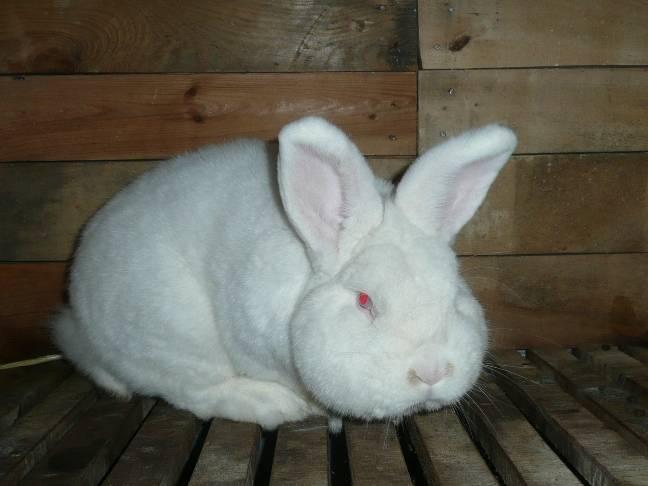Новозеландский кролик красной и белой породы: описание, уход