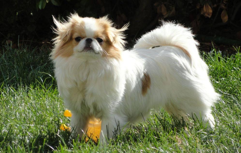 Китайские породы собак (с фотографиями и названиями) | все о собаках