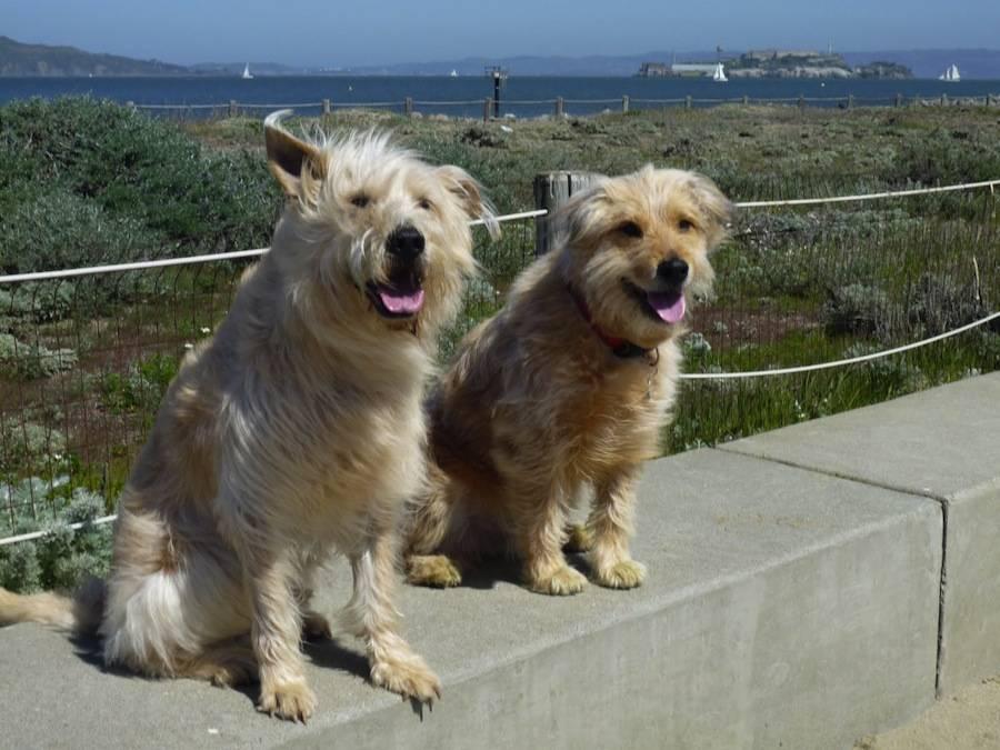 Голландский смоусхонд | собакопедия вики | fandom