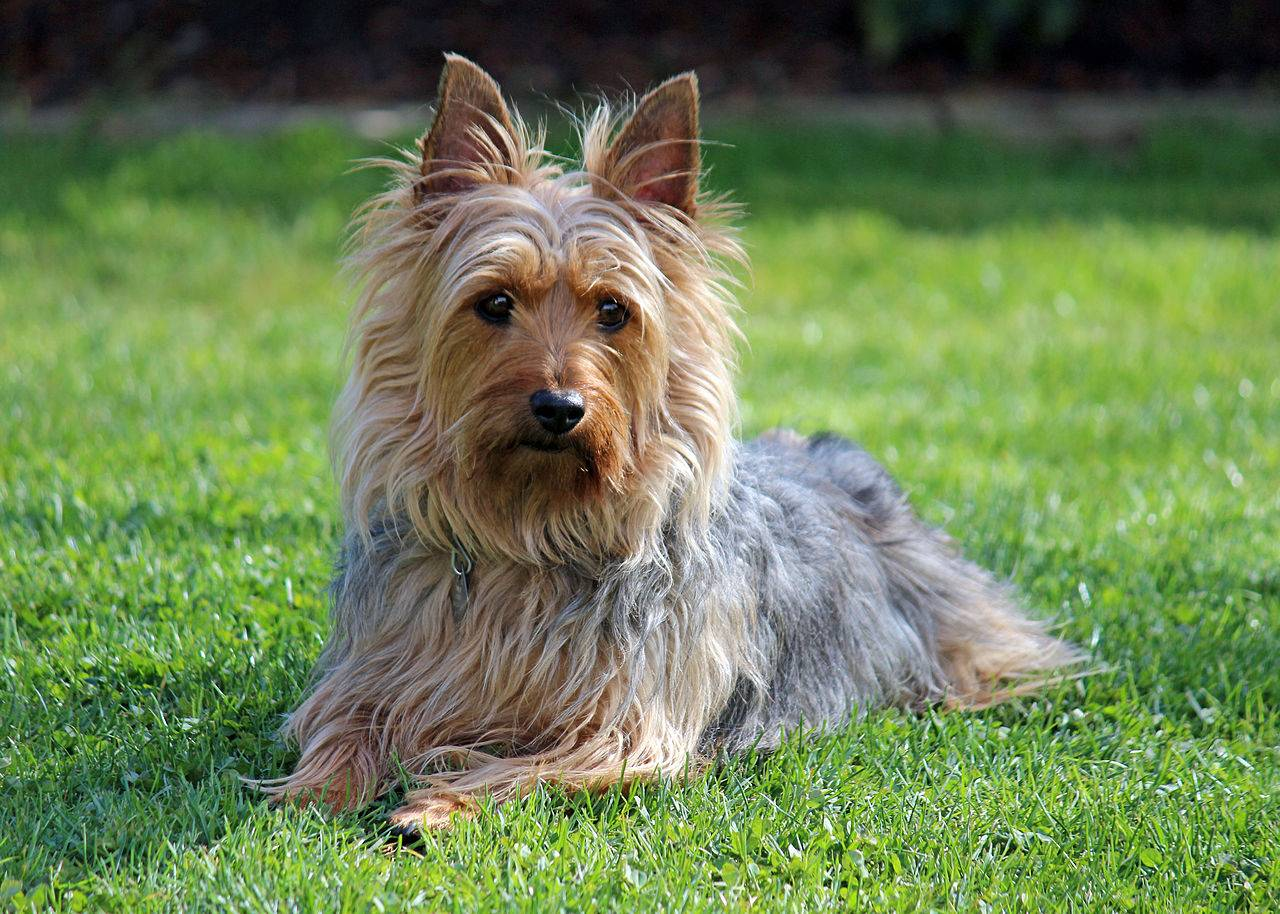 Австралийский шелковистый терьер: характер и история породы. порода собак австралийский терьер и ее характеристики с фото