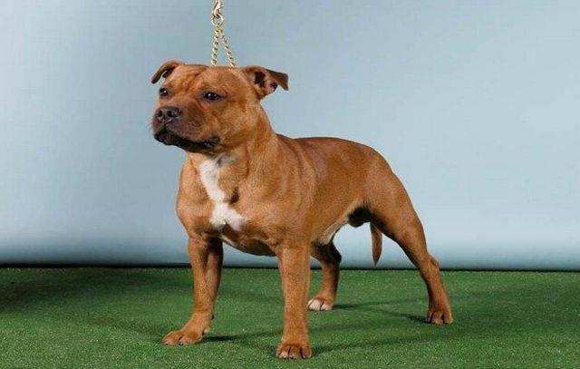 Стаффордширский терьер: характеристика американской собаки
