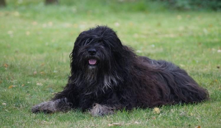 Эштрельская овчарка — описание и фото породы | все о собаках