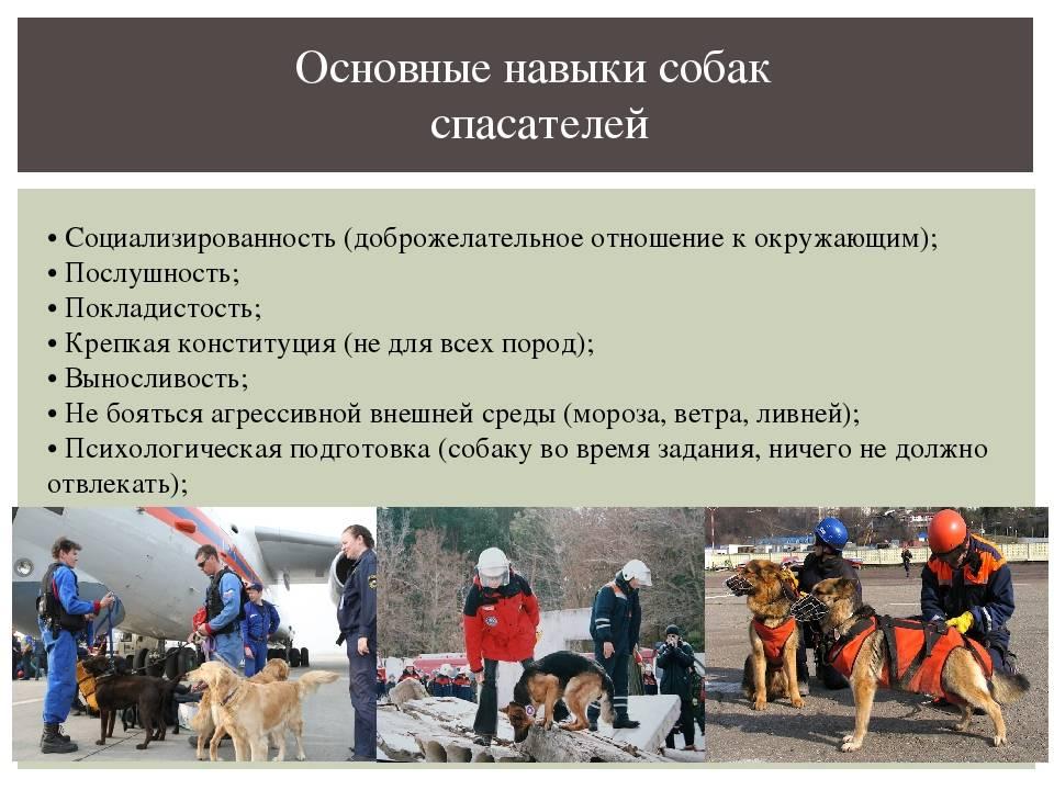 Собаки-спасатели: разнообразие пород, особенности обучения