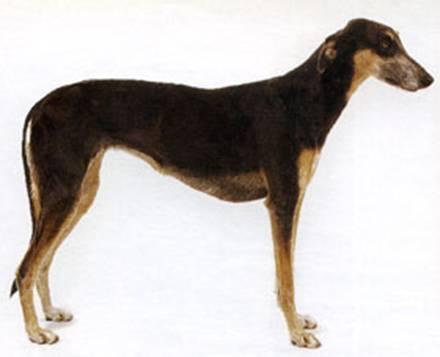 Подгалянская овчарка (польская): стандарт, описание, уход и питание