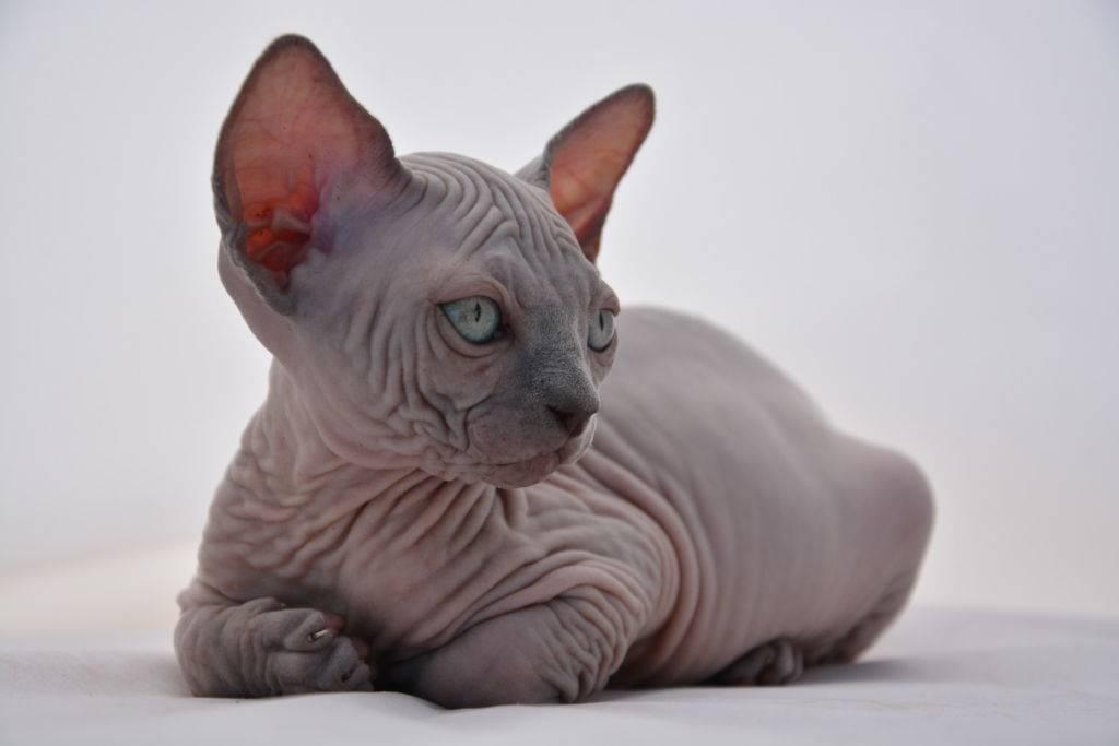 Донской сфинкс: кошки и коты
