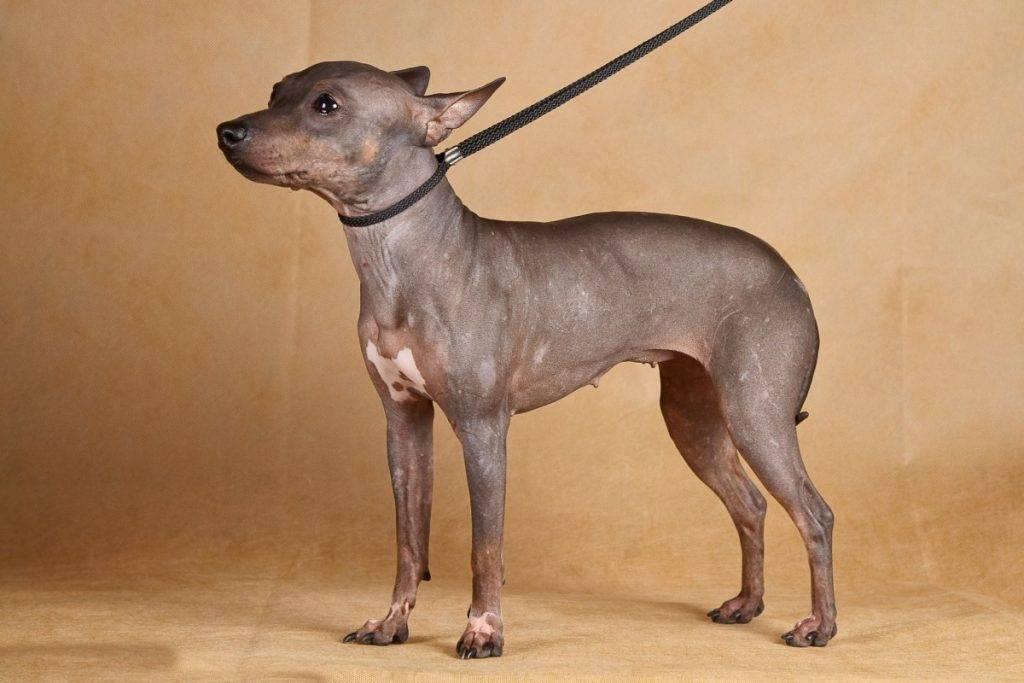 Американский голый терьер — описание и характеристика породы, советы по выбору щенка и воспитанию собаки (80 фото)