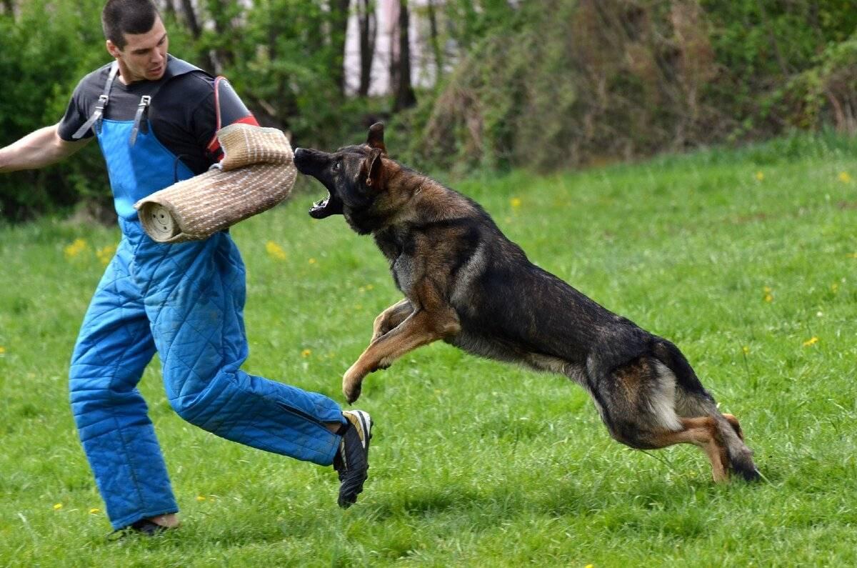 Топ-10 самых умных пород собак, которые легко поддаются дрессировке - лайфхакер