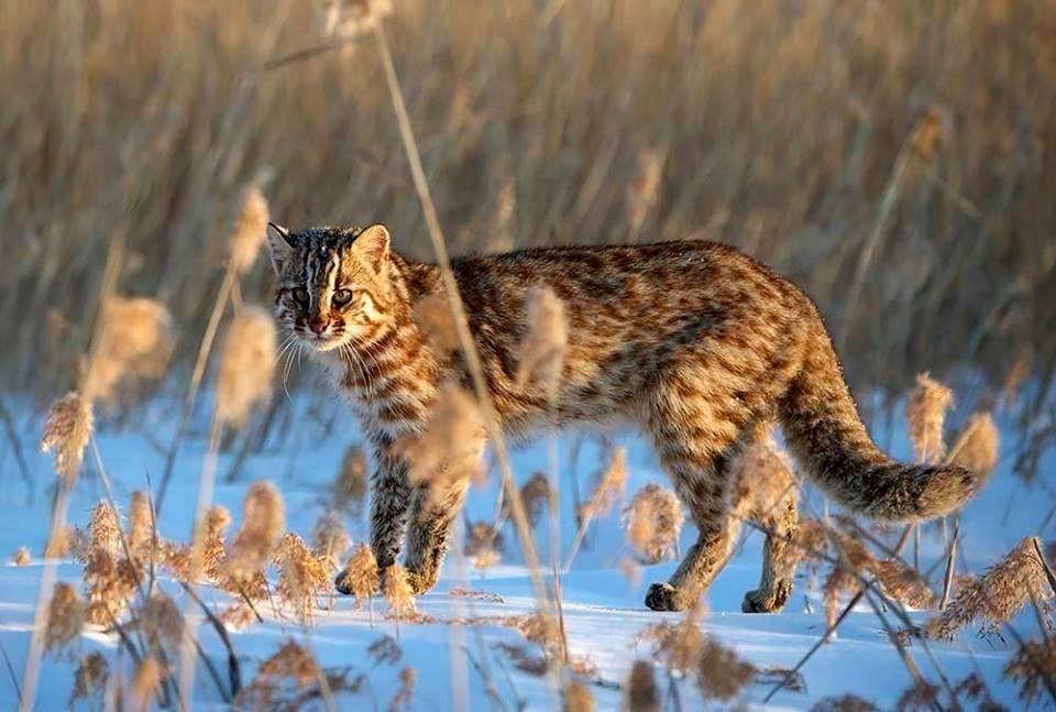 Дикий лесной кот: фото, разновидности и названия, характер и образ жизни, размножение кошек