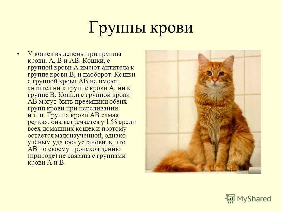 Основные правила кошачьей генетики | http://creambel.com