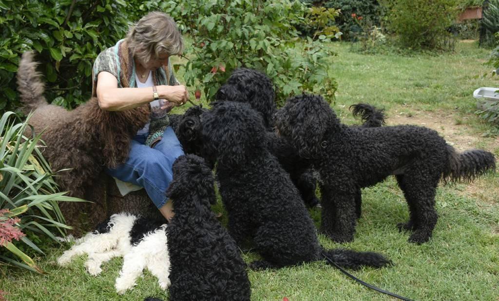 Ирландский водяной спаниель: описание породы собак с фото и видео