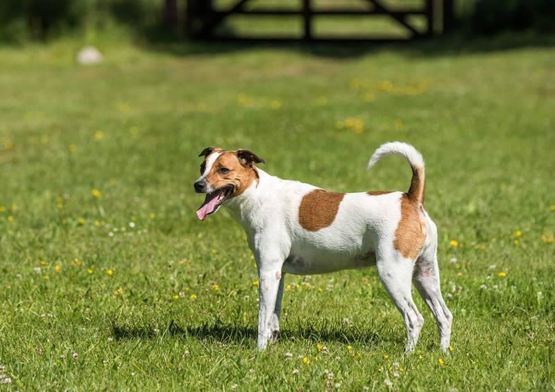 Фотографии, характеристики и факты датско-шведской породы фермерских собак | породы собак 2021