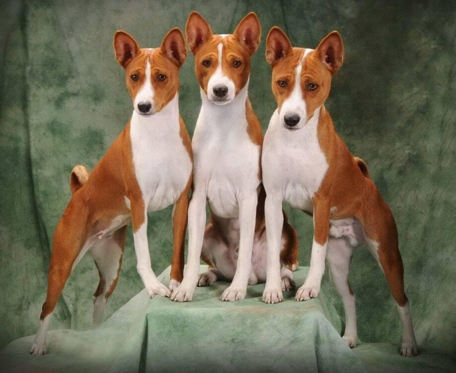 Собаки которые не лают: список пород собак которые не умеют гавкать с фото
