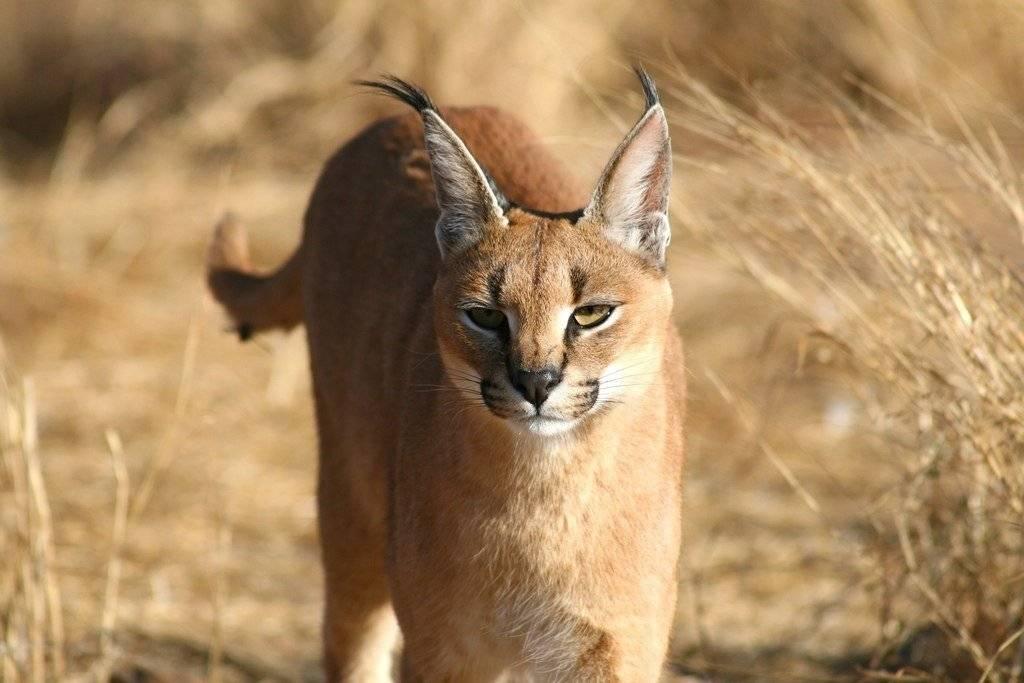 Степной кот: описание и характеристика, ареал обитания дикого животного, характер и повадки
