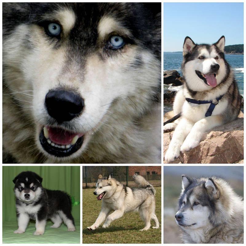 Чем отличаются лайки от хаски: внешние различия, разница в характере, выбор щенка