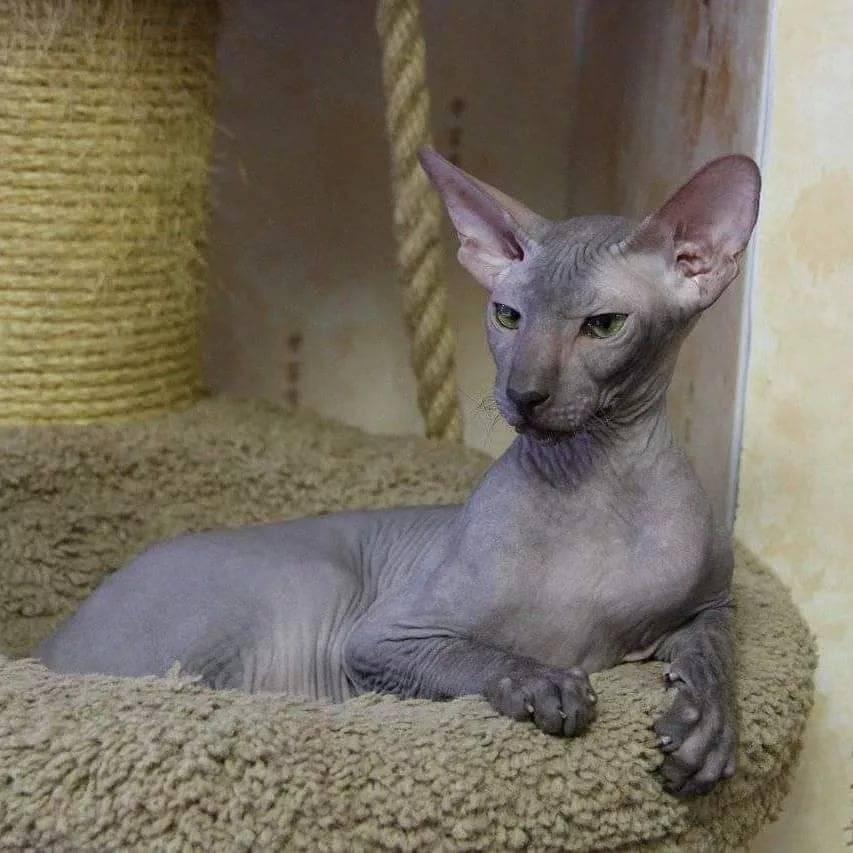 Кошки породы петербургский сфинкc
