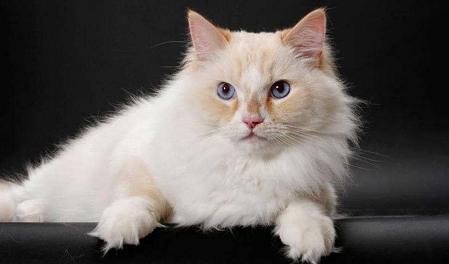 Рагамаффин: фото кошки, описание породы, характер, цена