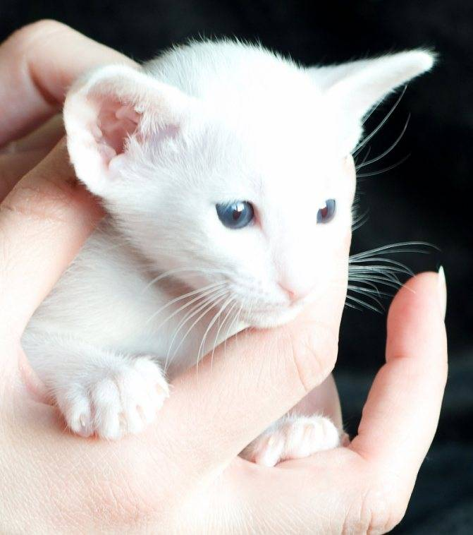 Форин вайт белая сиамская кошка
