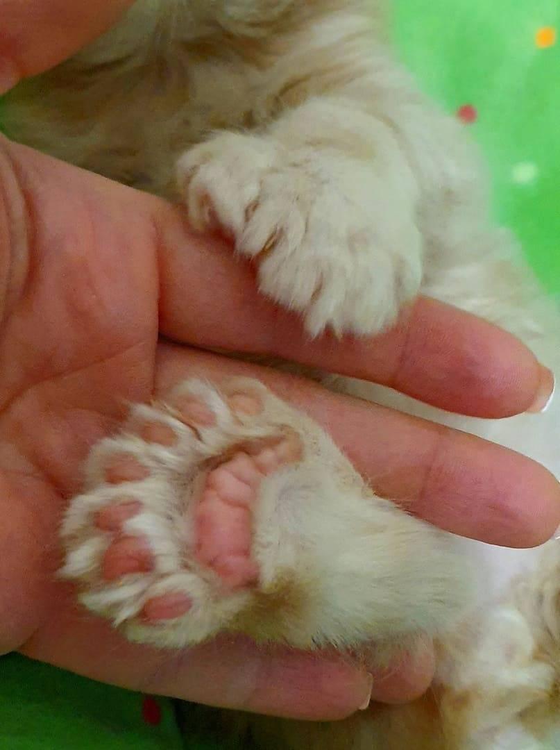 Строение лапы кошки – анатомия лапы