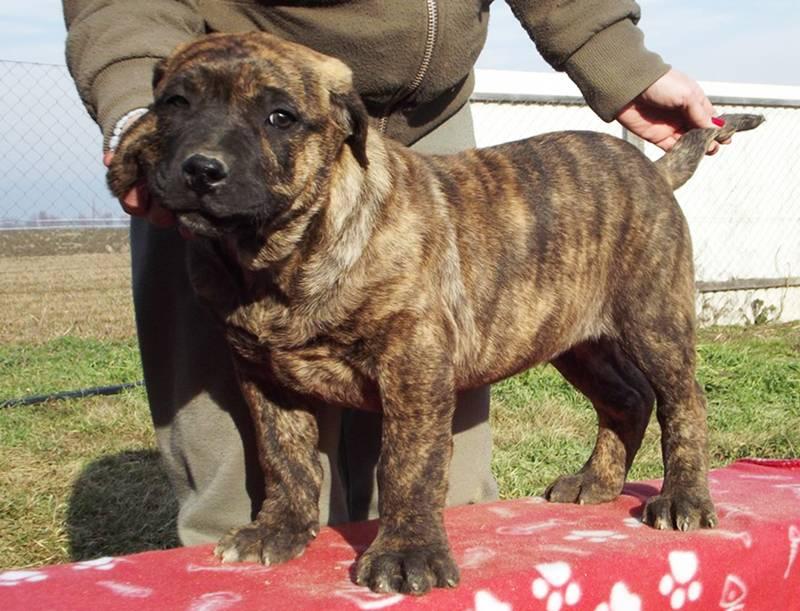 Большая японская собака (бяс, американская акита)